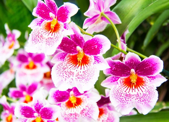 My favorite of the orchids. There Fuchsia Miltoniopsis Orchids are a treat to the eyes and the soul!
