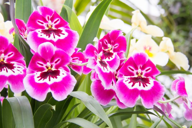 These are the beautiful Miltoniopsis Hot Pink Orchids that are so delicate yet have a powerful presence.