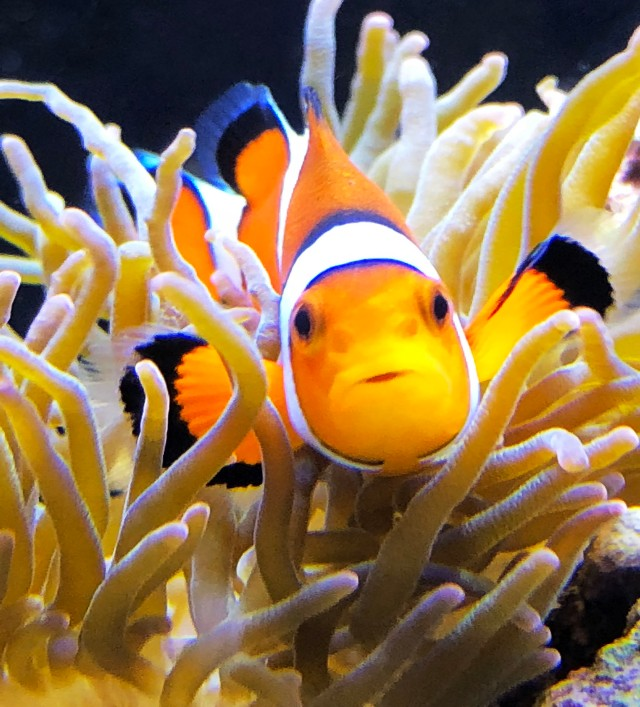 smaller clown fish