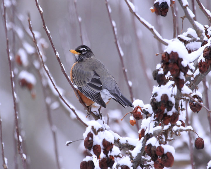 Close up photography of an American Robin.