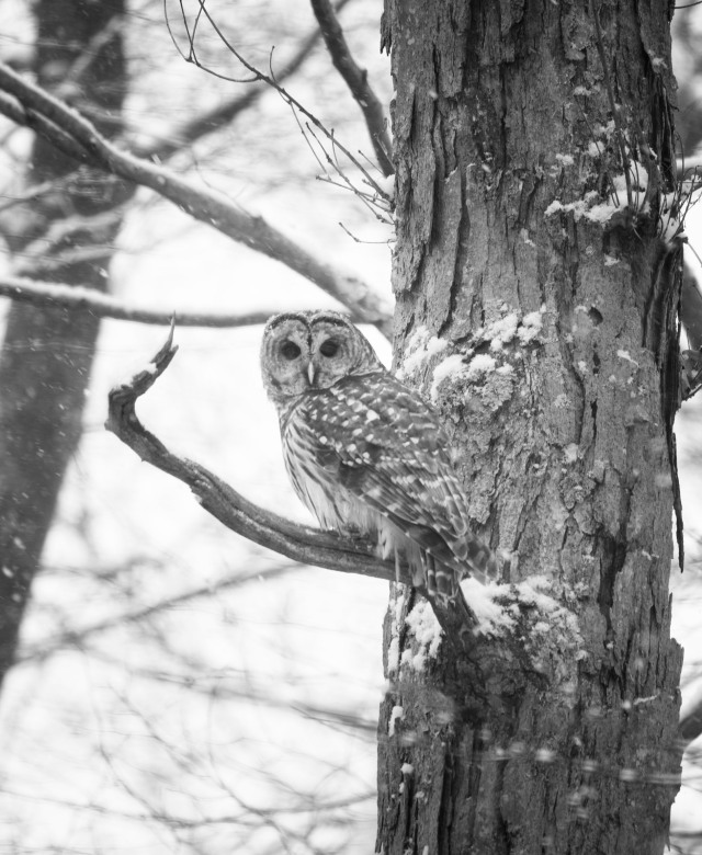 BW Barred Owl