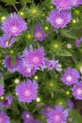 Puple Knapweed