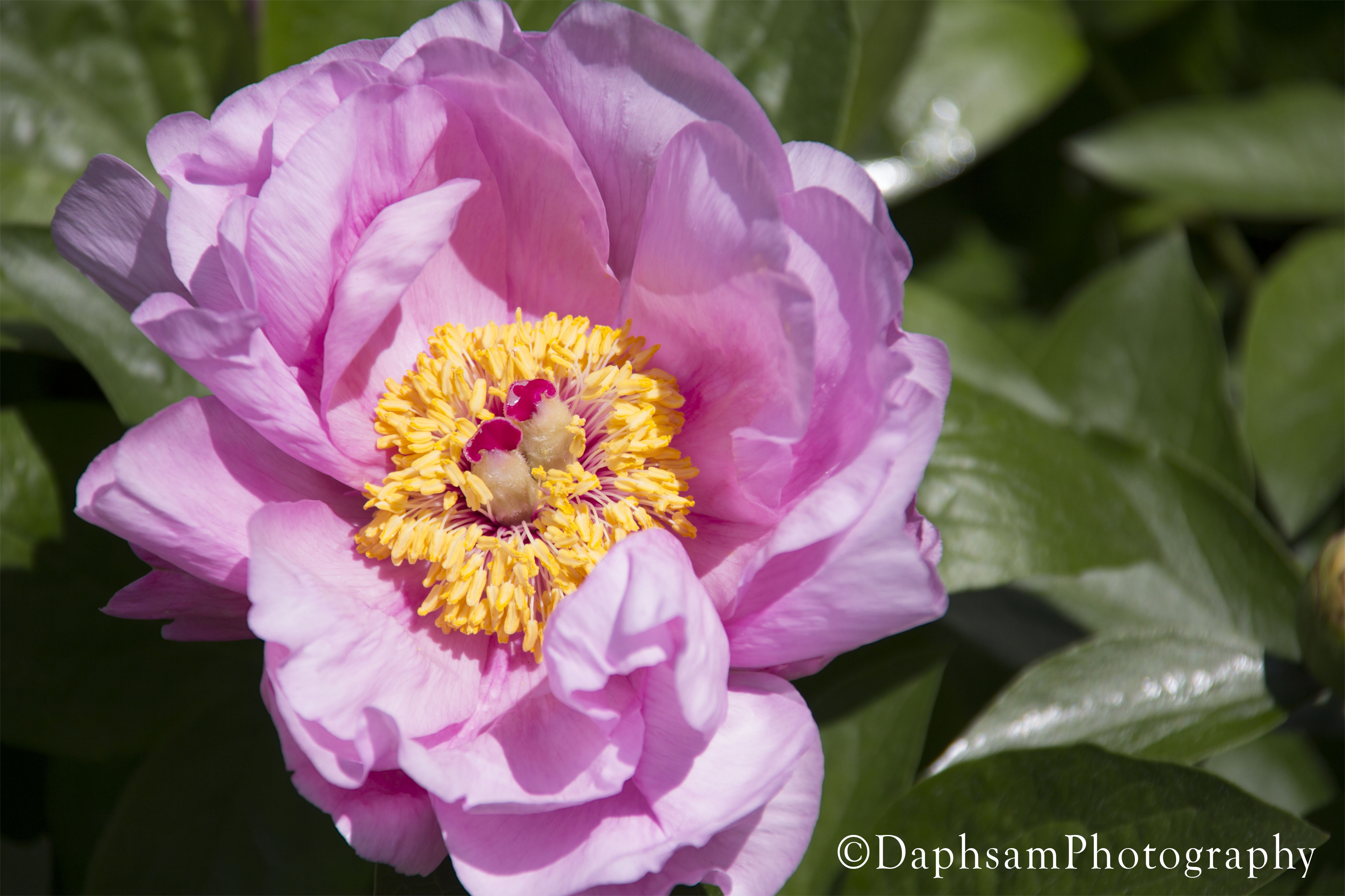 Color Magnet Peony