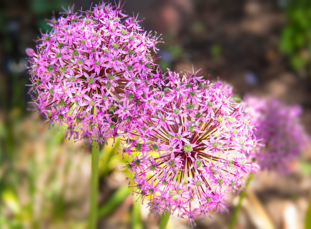 ColoradoAllium Purple Sensation175
