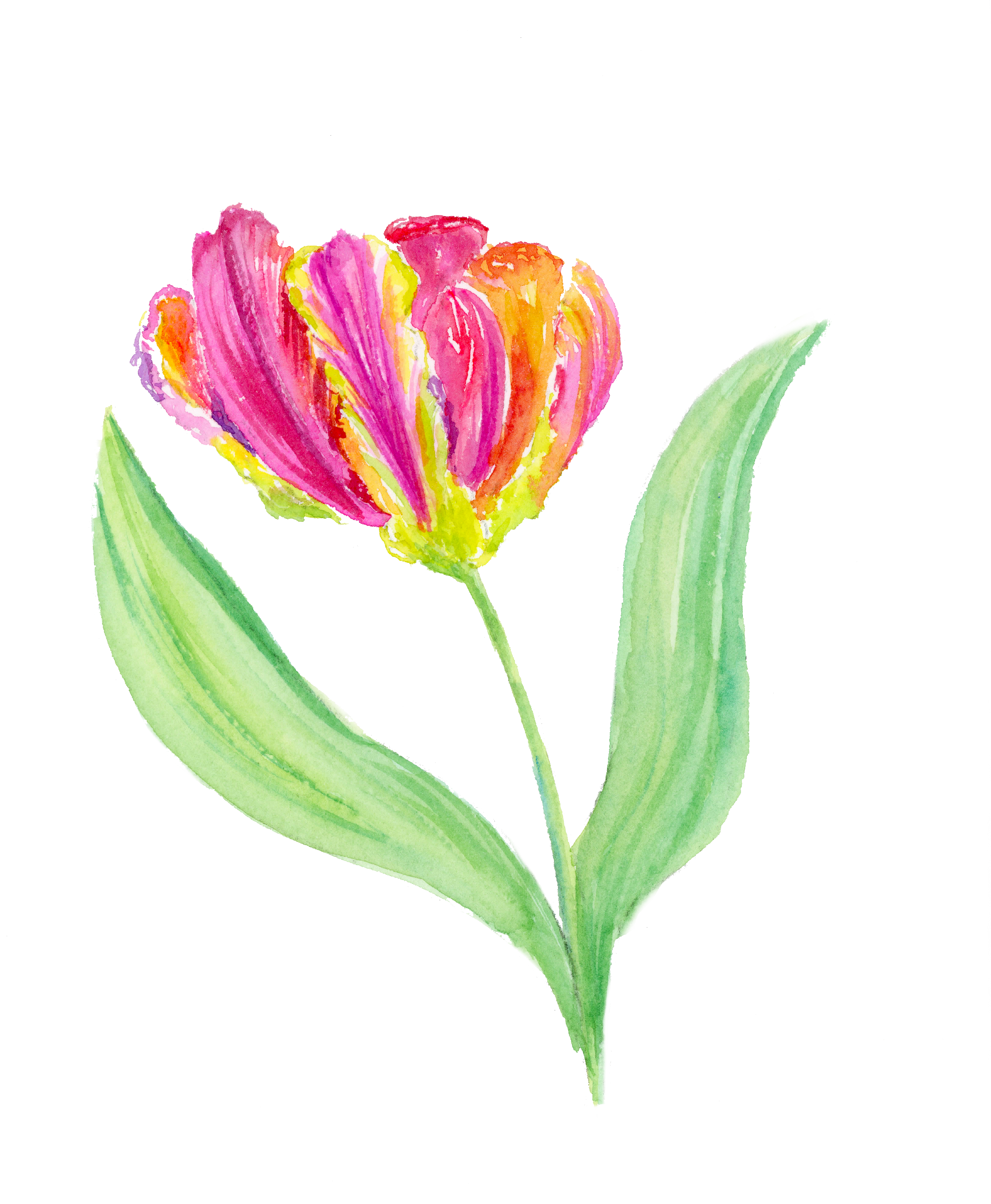 New Parrot Tulips