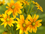 yellow daisy calendar april