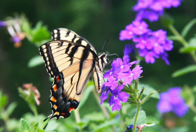 Delicate Swallowtail