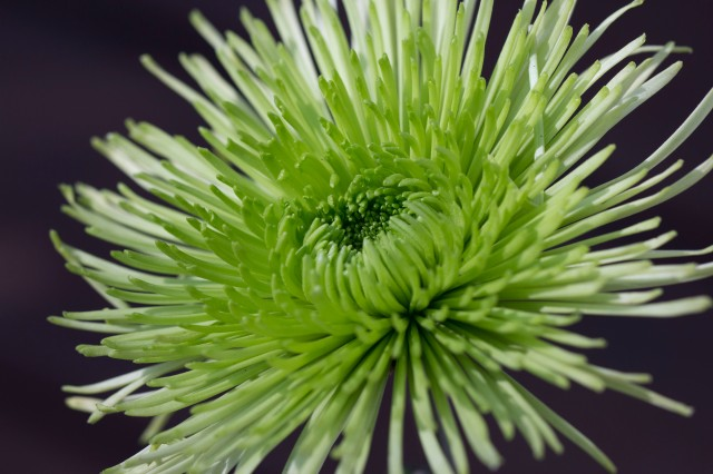 green spider flower